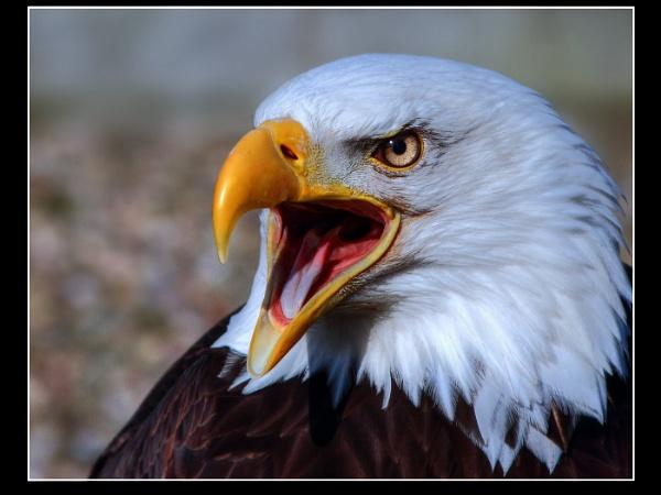 American bold eagle by eagleheadphotos