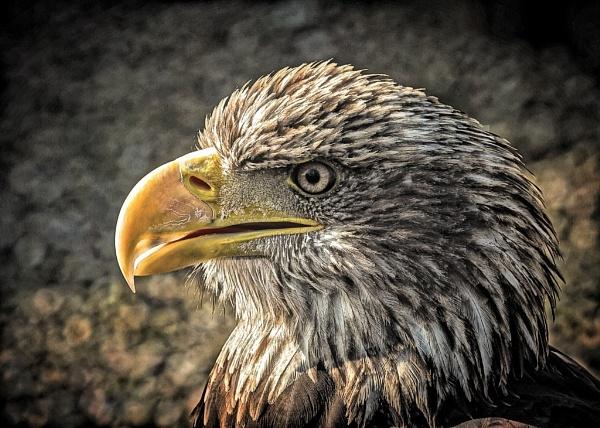 Eagle by eagleheadphotos