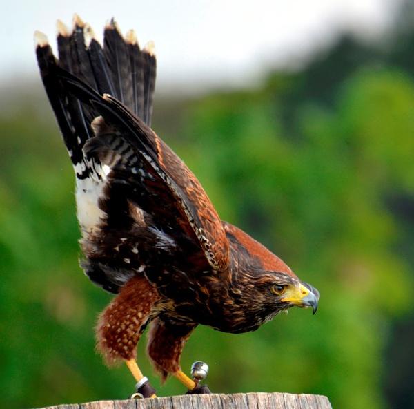 Harris Hawk by peterthowe