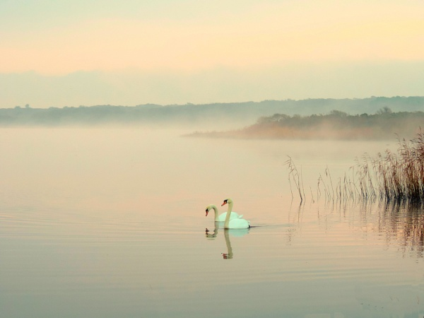 Swans in the mist by steve_i