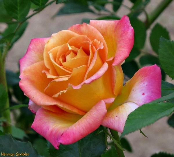 Unknown Rose by Hermanus