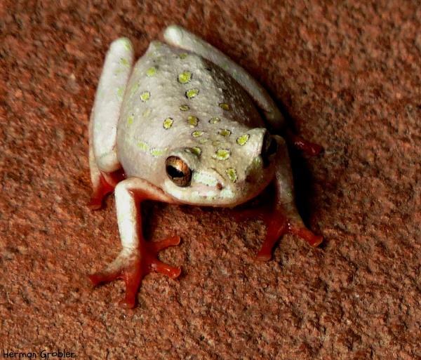 Froglet :) by Hermanus