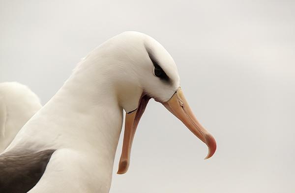 Black-browed albatross by andyp77