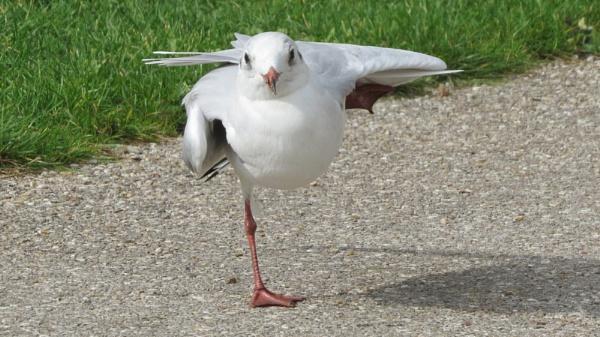 Gull Yoga! by OlwenB
