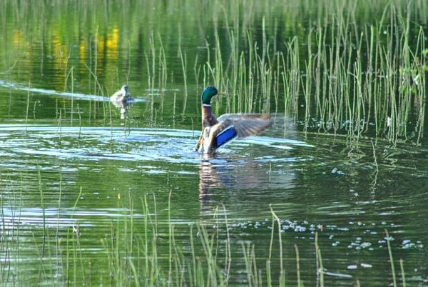 lake bird by ggdorrian
