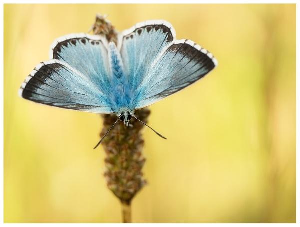Chalkhill Blue... by Greyheron