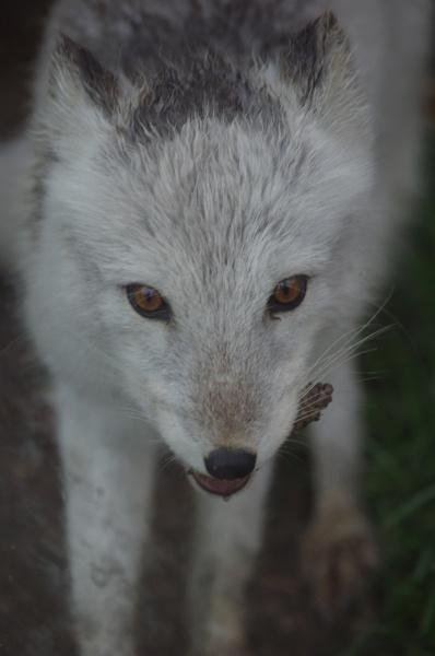 Arctic Fox by sazzykins