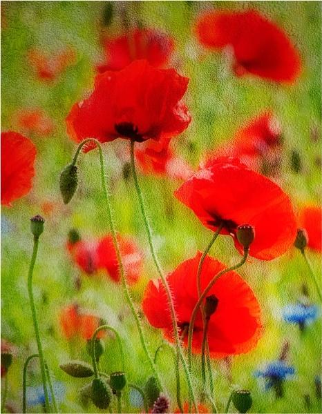 Poppy Field. by MalcolmM