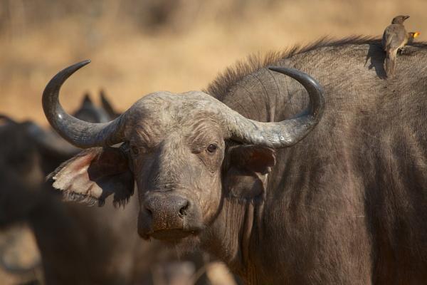 Buffalo by vickyf