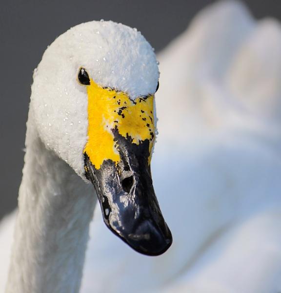 Bewick\'s Swan by Myathebirdwatcher999