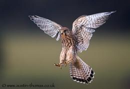 Kestrel Landing...