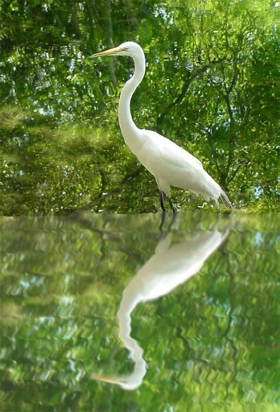 Egret by cjl47