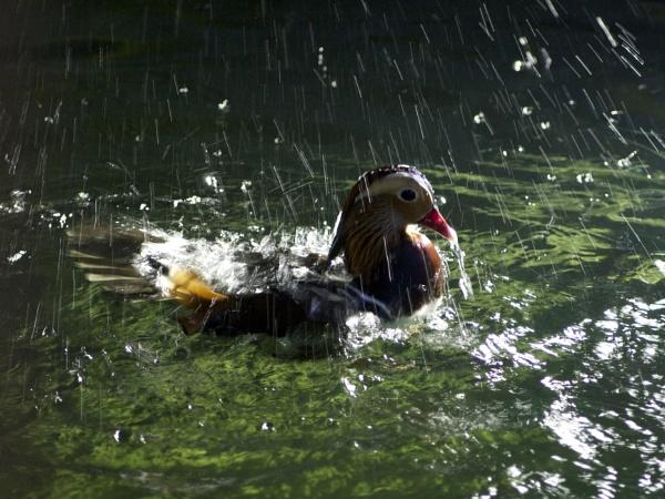 Mandarin Duck by DilysT