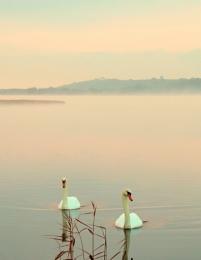 Swans in the dawn mist reworked