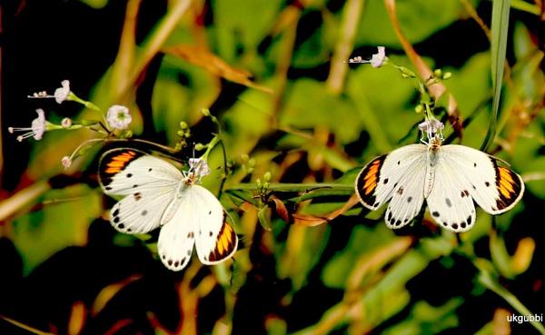 BF- White orange tip by ukgubbi