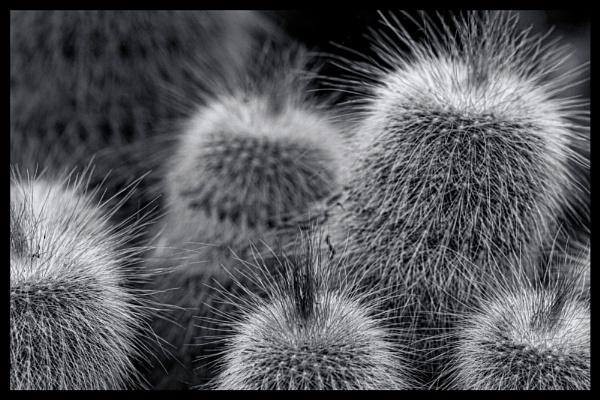 Cacti by WeeGeordieLass