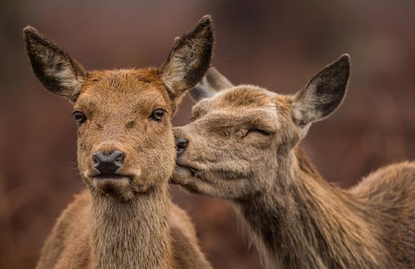 I Love you Deer by philgood