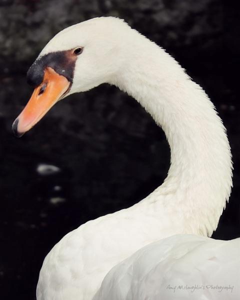Swan by littlemisschatterbox