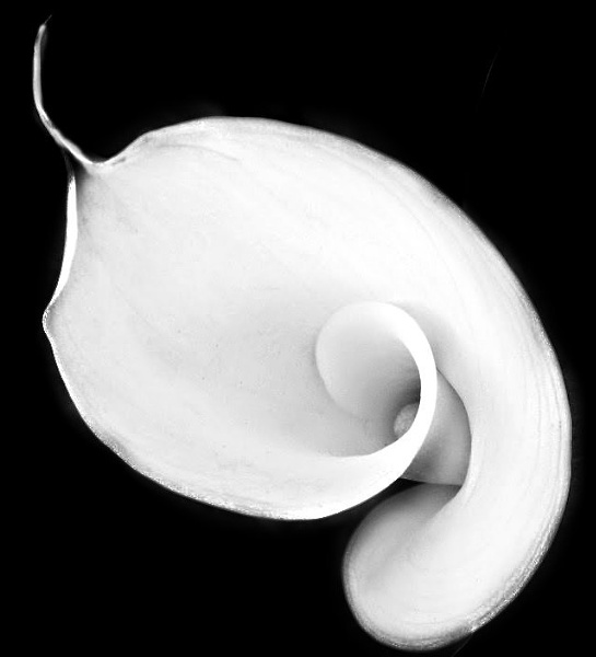 Lily Twirl Black and white. by pentaxpatty