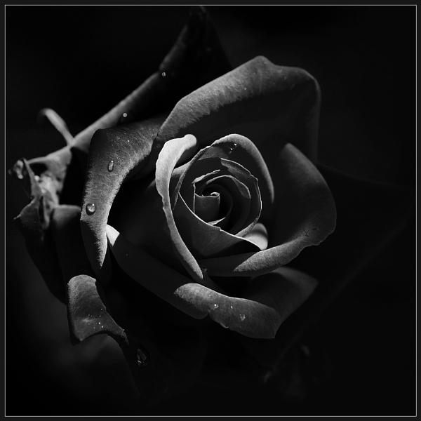 Dark Rose 2 by Morpyre