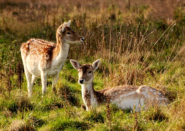 2 young deer in Wollaton park,Nottingham by shaz4