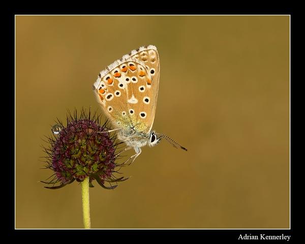 Adonis Blue 2014 No 3 by tomcat