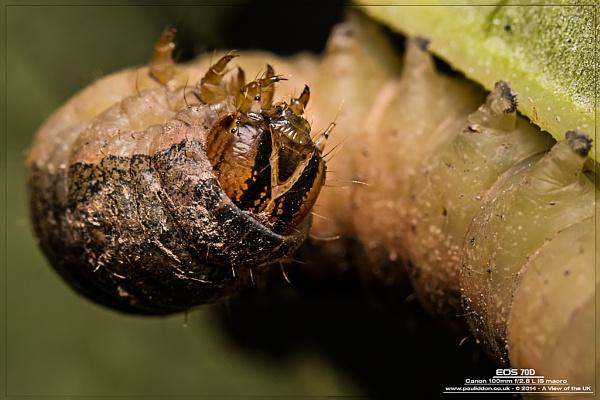 Large yellow underwing moth, Noctua pronuba. by Paul_Iddon