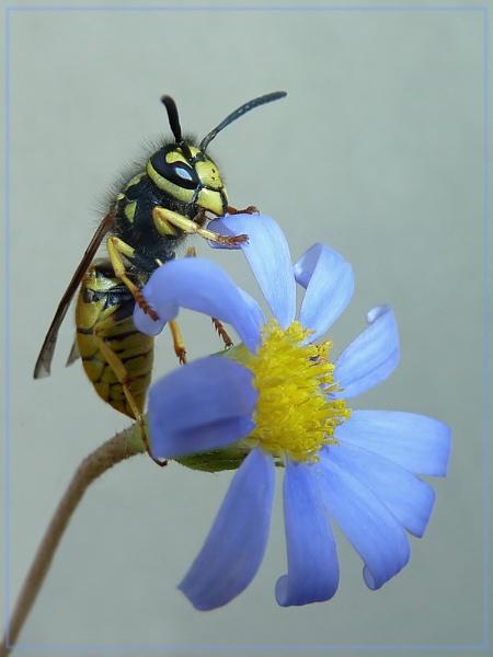 wasp on felicia by CarolG