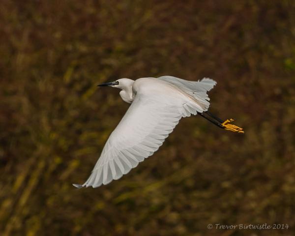 Little Egret In Flight by Trev_B