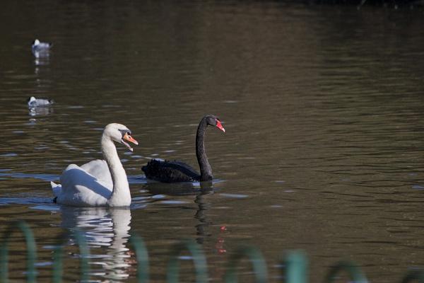 Swans by cjl47