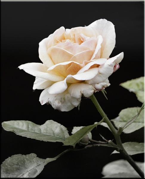 Rose by cjl47