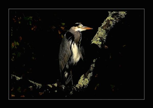 November Heron by Gearoidmuar