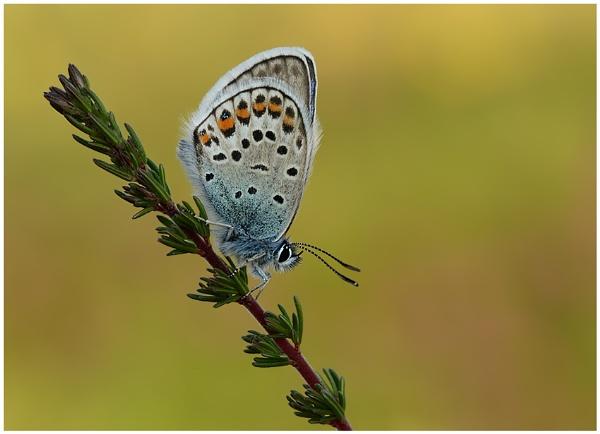 Silver Studded Blue by NigelKiteley