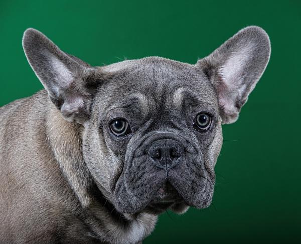 Young French Bulldog by annatefkah2