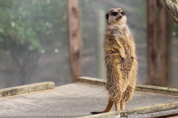Meerkat by ntompkins