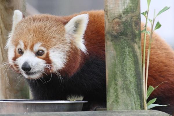 Red Panda by ntompkins