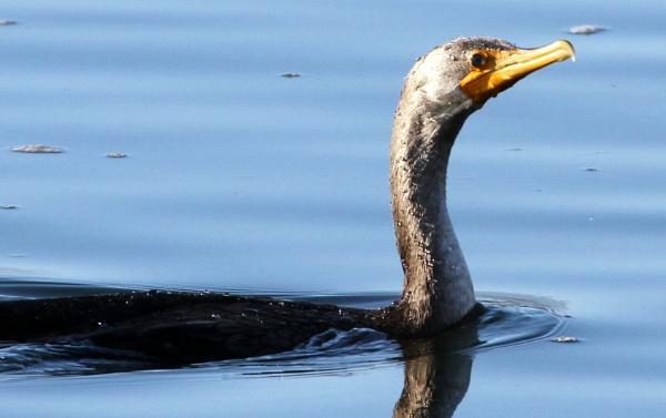 Cormorant Junior by tonyguitar