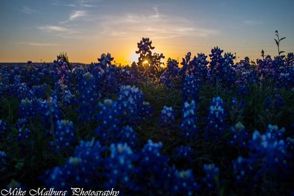 Texas Blue Bonnet by mike_malburg