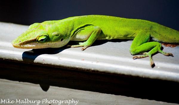 Lizard lounge by mike_malburg