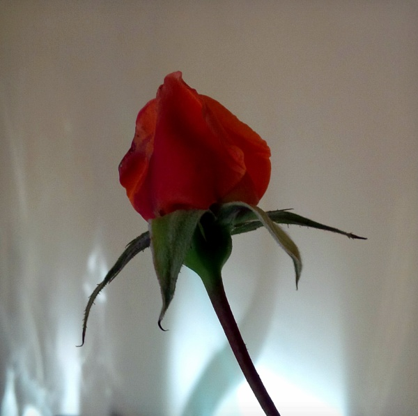 Orange rosebud and shadows by pentaxpatty