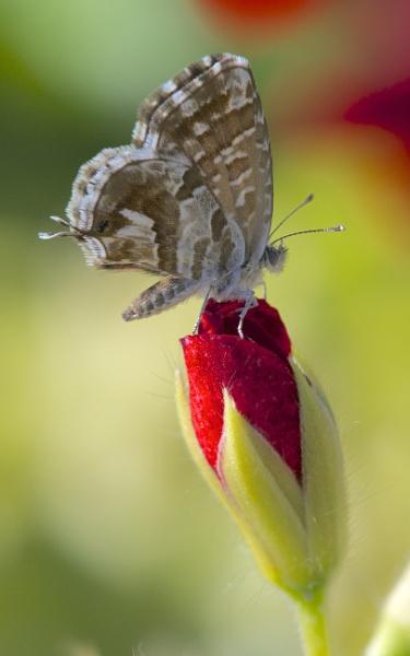 Cacyreus on geranium by alcontu