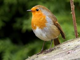 Robins--Erithacus rubecula.