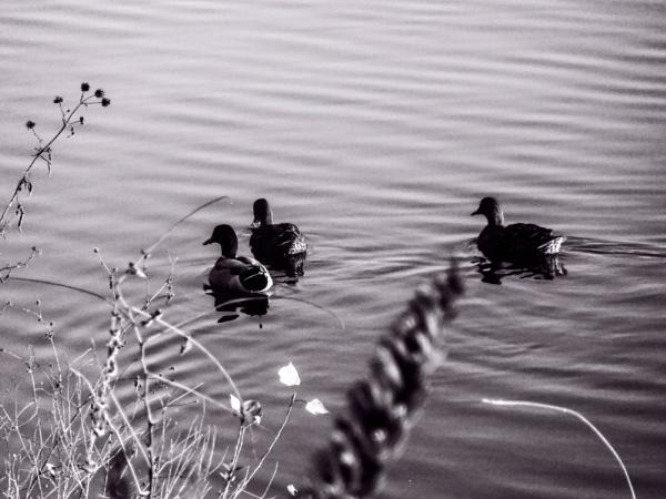 Ducks by Thcphoto