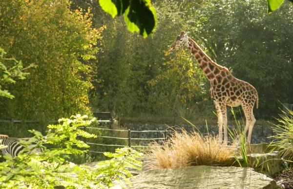 Giraffe by CarolineFlynn