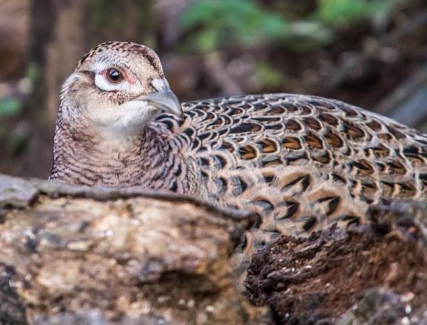 pheasant hen by madbob