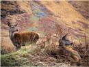 Glen Etive Deer by Sue_R