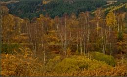 Silver Birches.