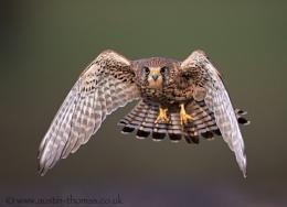 A wild Kestrel in flight...