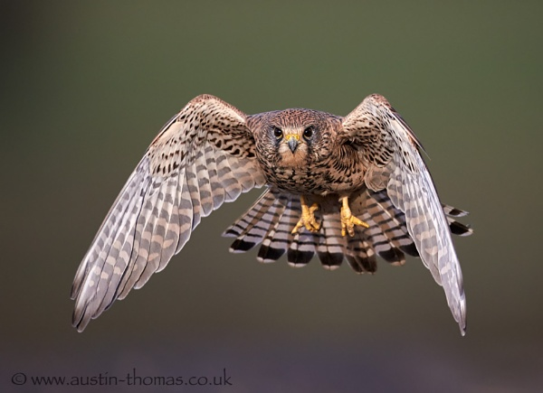 A wild Kestrel in flight... by Austin_Thomas