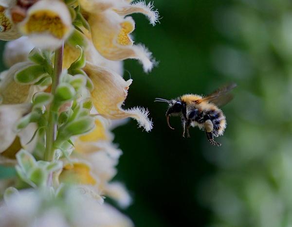 Bee in flight by FeatherFriend
